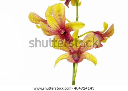 Yellow orchid in bloom - stock photo