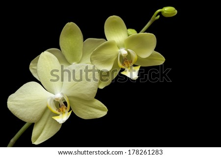 yellow orchid on black background - stock photo