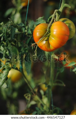 Yellow organic tomatoes growing in a greenhouse on a farm - stock photo