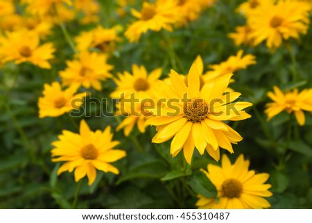 Yellow ornamental plants for cottage garden; Heliopsis, Herbaceous flowering plant; Lush flowers in the summer perennial border - stock photo