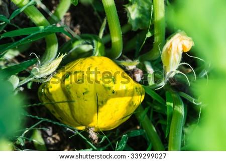 Yellow Pattypan squash in the garden - stock photo