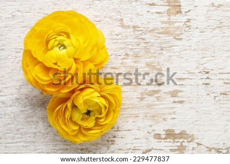 Yellow persian buttercup flowers (ranunculus) on wooden background. Copy space, your text here. - stock photo