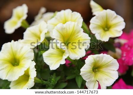 Yellow petunias closeup - stock photo