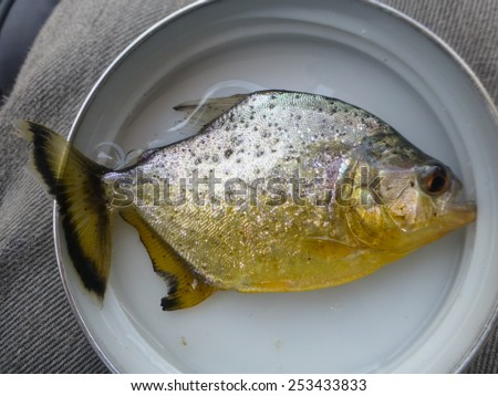 Yellow Piranha (Pygopristis denticulata) Amazonas, Brazil  - stock photo