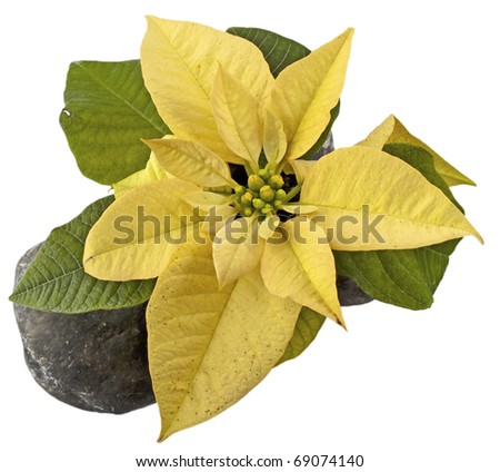 Yellow Poinsettia seen from abover over a white background - stock photo