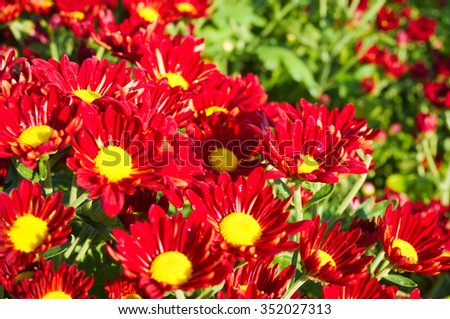 yellow pollen,red colored daisy flowers  - stock photo