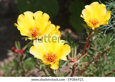 Yellow Portulaca Flowers. Also known as Moss Rose or Purslane - stock photo