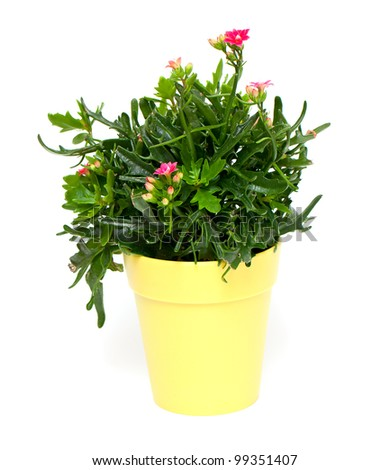 yellow pot with red kalanchoe - stock photo