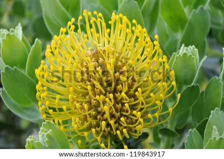 Yellow protea pincushion form botanical garden South Africa - stock photo