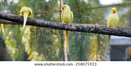 Yellow psittacula krameri parakeet perching on branch - stock photo