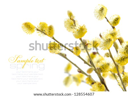 Yellow pussy willow branches on a white background - stock photo