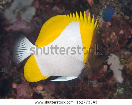 Yellow Pyramid Butterflyfish in Bohol sea, Phlippines Islands - stock photo