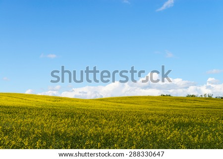 Yellow race field and clouds in the blue sky - stock photo