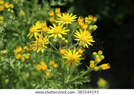 King County Best Management Practices - Tansy Ragwort ...