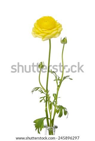 Yellow Ranunculus - stock photo