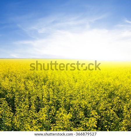 yellow rape blossom at the sunset - stock photo