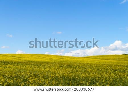 Yellow  rape fields - stock photo