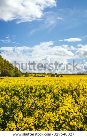 Yellow rapeseed field and blue sky with white clouds - stock photo