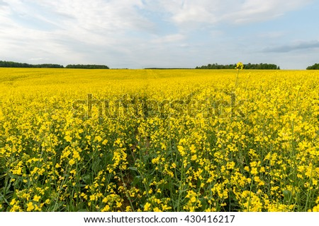 Yellow Rapeseed Field. Landscape. Rural area nature. Blue Sky In - stock photo