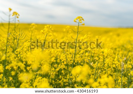 Yellow Rapeseed Field. Landscape. Rural area nature. Blue Sky In Background - stock photo