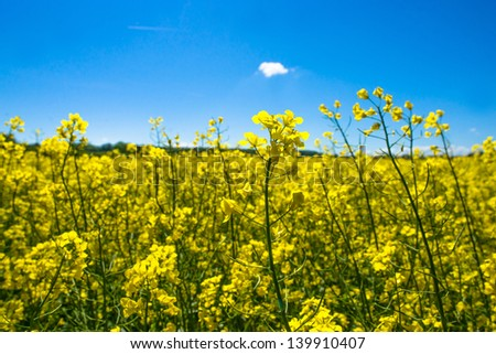 Yellow rapeseed field on a sunny day - stock photo