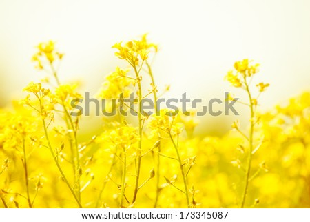yellow rapeseed oil (canola)  on sunny day - stock photo