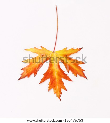 Yellow, red and orange autumn maple leaf on white background - stock photo