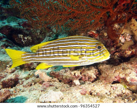 Yellow Ribbon Sweetlips (Plectorhinchus polytaenia) - underwater portrait in the Indo-Pacific ocean, Indonesia. - stock photo