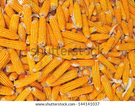 Yellow ripe corn collected in autumn - stock photo