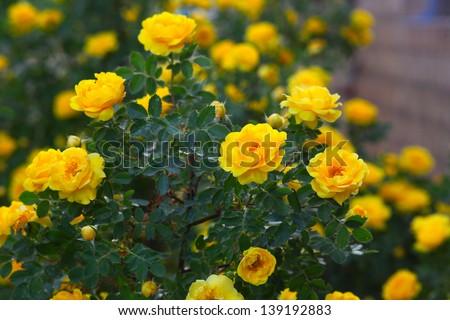 yellow rose briar bush flowers nature background wallpaper - stock photo