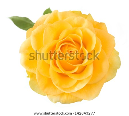 Yellow rose closeup isolated on white background - stock photo