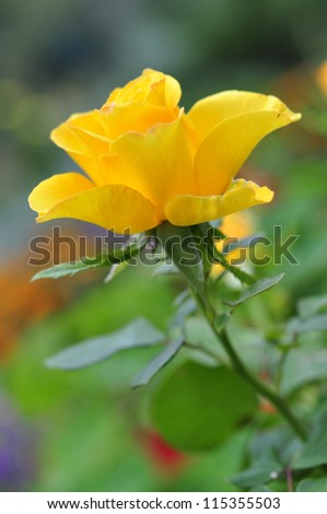 Yellow rose flower blossom outdoor. Small shallow dof. - stock photo