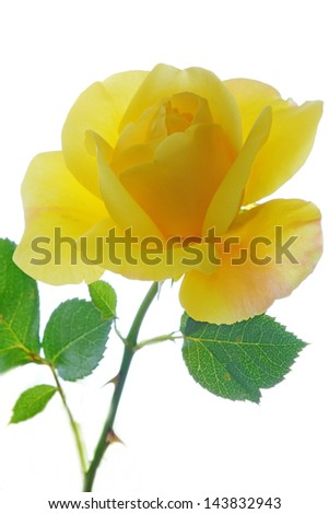 Yellow Rose in high key close up against the sky - stock photo