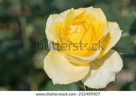 Yellow rose in the garden focus on petal - stock photo