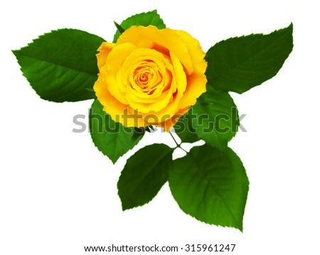 Yellow rose isolated on white background. - stock photo