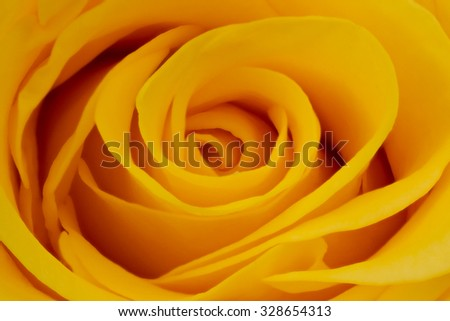 yellow rose petals - stock photo