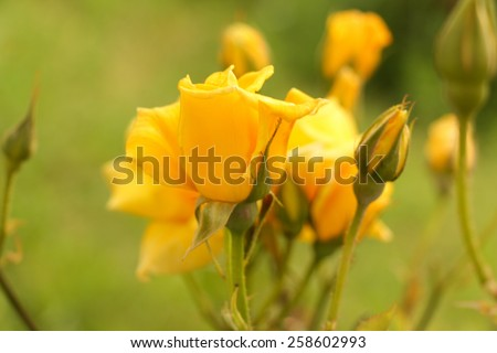 Yellow rose. Some yellow roses in the garden. - stock photo