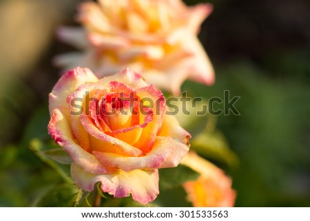 yellow rose with a red tint with drops of dew on petals, blurred background - stock photo