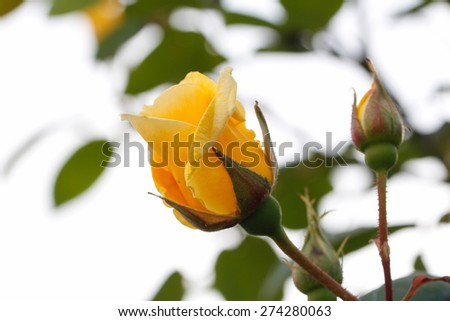 Yellow rose with sky background. Some yellow roses in the garden. - stock photo