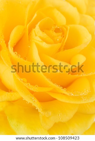 Yellow rose with water drops. Closeup - stock photo