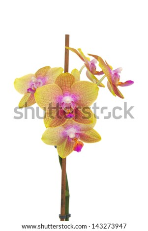 Yellow rosy flowerage orchid on white background - stock photo