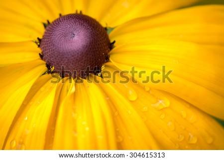 Yellow Rudbeckia Black eyed Susan Flower  - stock photo