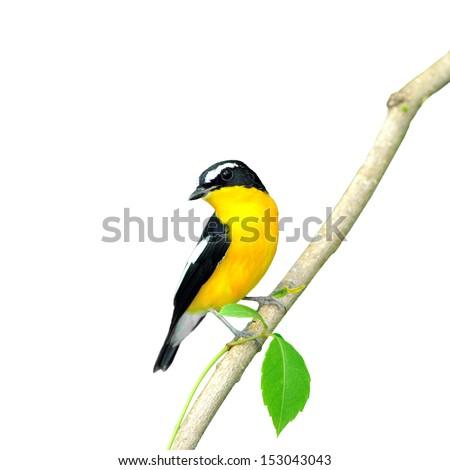 Yellow-rumped Flycatcher (Ficedula zanthopygia) on white background.  - stock photo