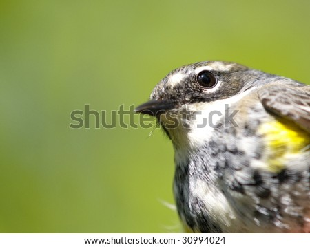 Yellow Rumped Warbler (Dendroica coronata) closeup looking to camera - stock photo