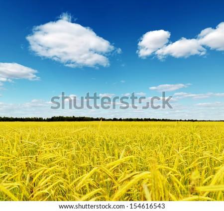 Yellow rye field. Autumn landscape. - stock photo
