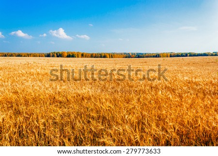 Yellow rye field on a background of autumn forest - stock photo