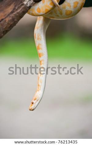 Yellow snake - stock photo