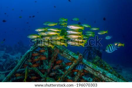 Yellow Snapper and tropical fish around underwater debris - stock photo
