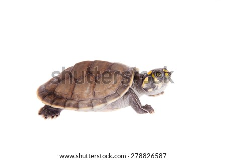 Yellow-spotted River Turtle, Podocnemis unifilis, on white - stock photo