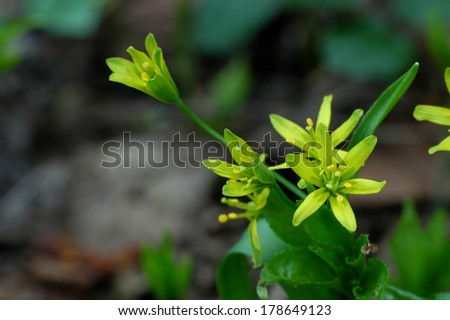 Yellow Star-of-Bethlehem in springtime close-up - stock photo